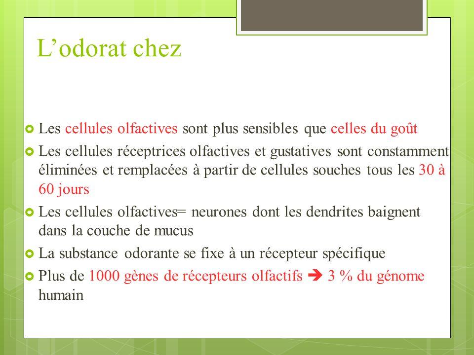 Lodorat chez Les cellules olfactives sont plus sensibles que celles du goût Les cellules réceptrices olfactives et gustatives sont constamment éliminées et remplacées à partir de cellules souches tous les 30 à 60 jours Les cellules olfactives= neurones dont les dendrites baignent dans la couche de mucus La substance odorante se fixe à un récepteur spécifique Plus de 1000 gènes de récepteurs olfactifs 3 % du génome humain
