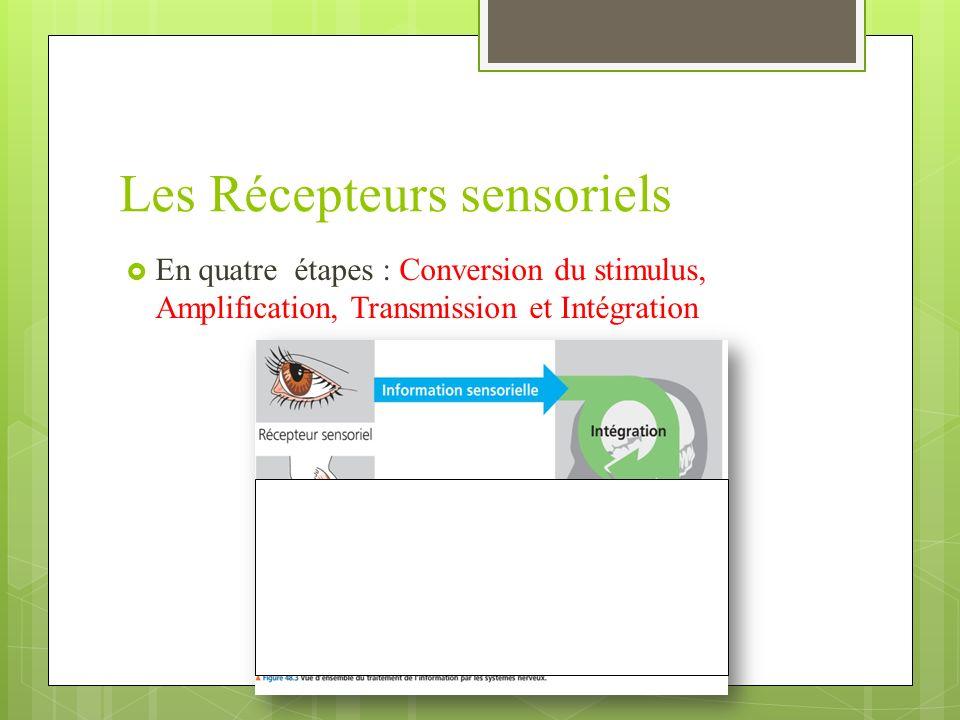 Les Récepteurs sensoriels En quatre étapes : Conversion du stimulus, Amplification, Transmission et Intégration