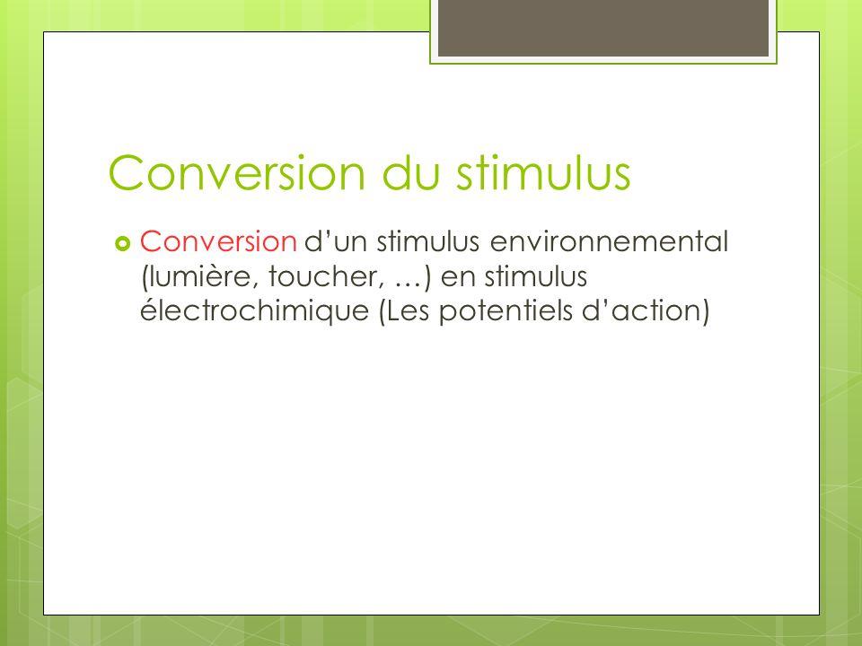 Conversion du stimulus Conversion dun stimulus environnemental (lumière, toucher, …) en stimulus électrochimique (Les potentiels daction)