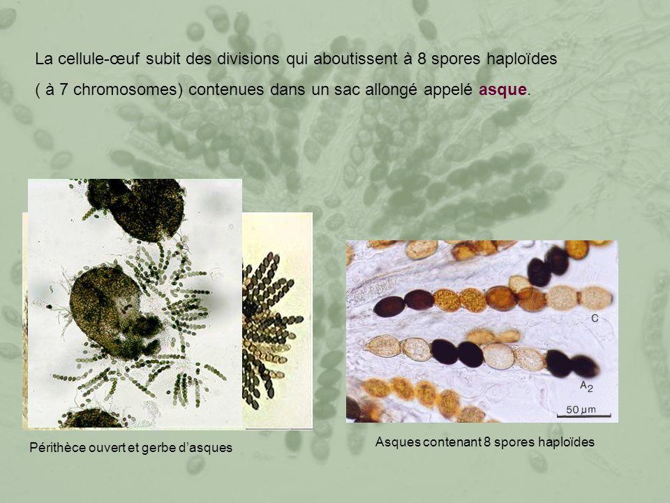 La cellule-œuf subit des divisions qui aboutissent à 8 spores haploïdes ( à 7 chromosomes) contenues dans un sac allongé appelé asque.