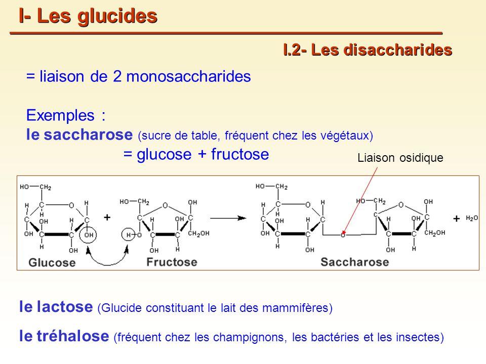 = liaison de 2 monosaccharides Exemples : le saccharose (sucre de table, fréquent chez les végétaux) = glucose + fructose I.2- Les disaccharides I- Les glucides Liaison osidique le lactose (Glucide constituant le lait des mammifères) le tréhalose (fréquent chez les champignons, les bactéries et les insectes)