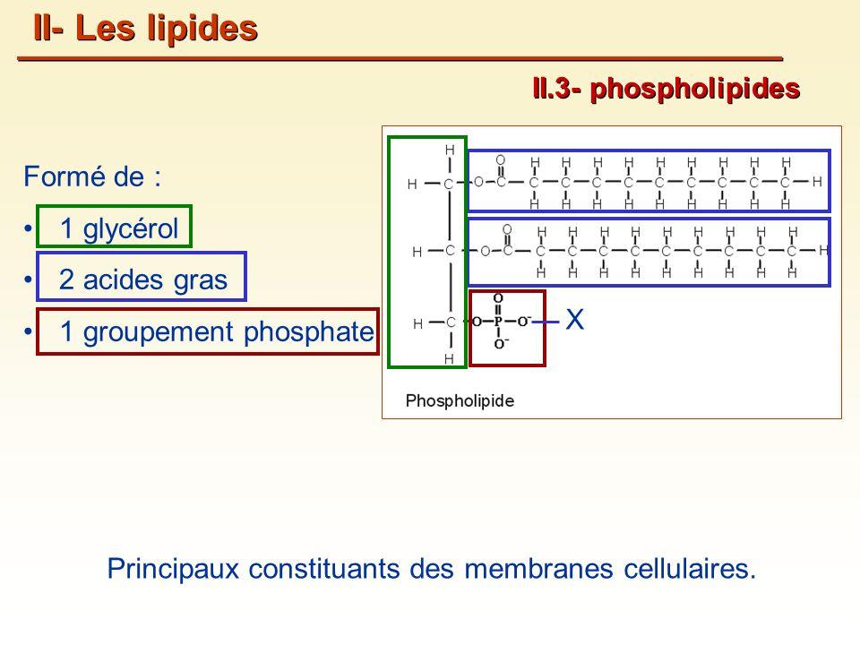 Formé de : 1 glycérol 2 acides gras 1 groupement phosphate Principaux constituants des membranes cellulaires.