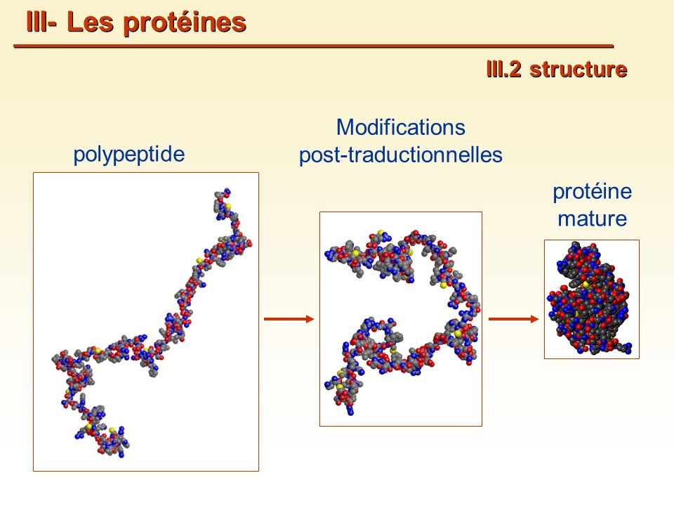 III.2 structure III- Les protéines polypeptide Modifications post-traductionnelles protéine mature