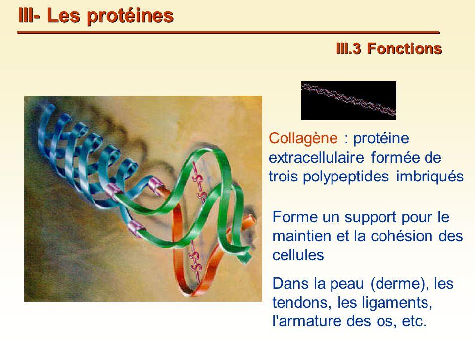 Collagène : protéine extracellulaire formée de trois polypeptides imbriqués Forme un support pour le maintien et la cohésion des cellules Dans la peau (derme), les tendons, les ligaments, l armature des os, etc.