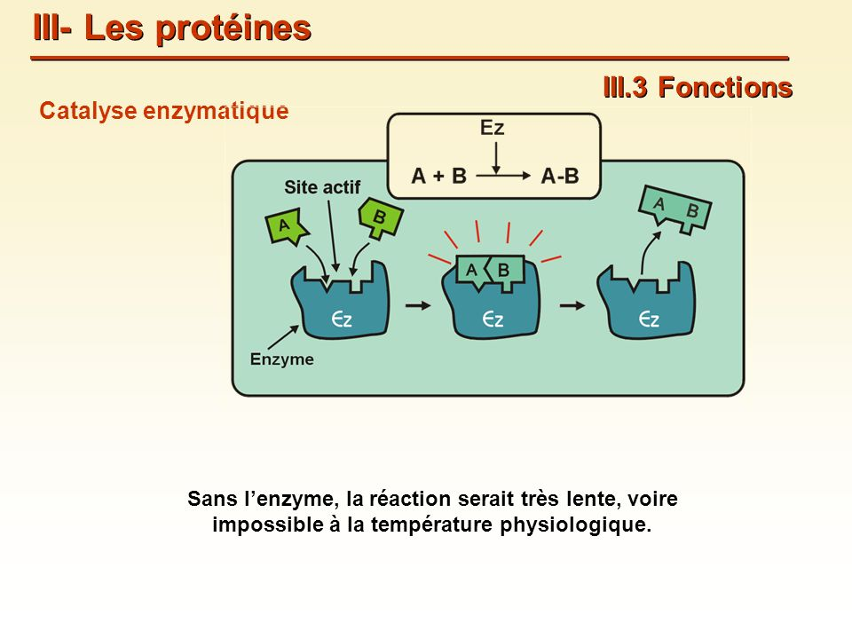 Catalyse enzymatique III.3 Fonctions III- Les protéines Sans lenzyme, la réaction serait très lente, voire impossible à la température physiologique.