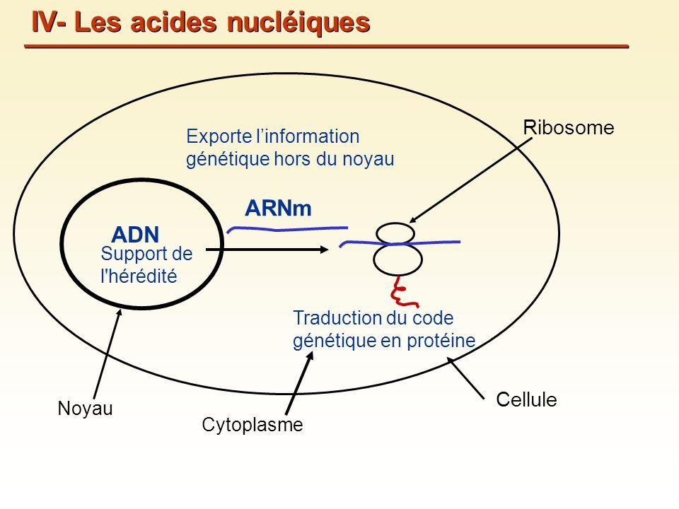 ADN Support de l hérédité Cellule Noyau Cytoplasme ARNm Exporte linformation génétique hors du noyau Traduction du code génétique en protéine Ribosome IV- Les acides nucléiques