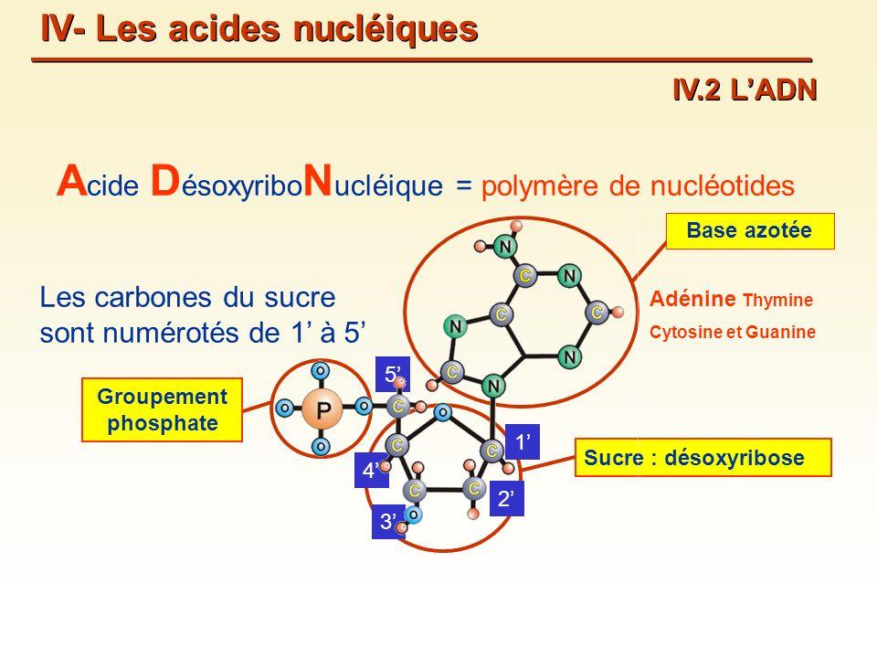 A cide D ésoxyribo N ucléique = polymère de nucléotides Sucre : désoxyribose 1 2 3 4 5 Les carbones du sucre sont numérotés de 1 à 5 Groupement phosphate Base azotée Adénine Thymine Cytosine et Guanine IV- Les acides nucléiques IV.2 LADN