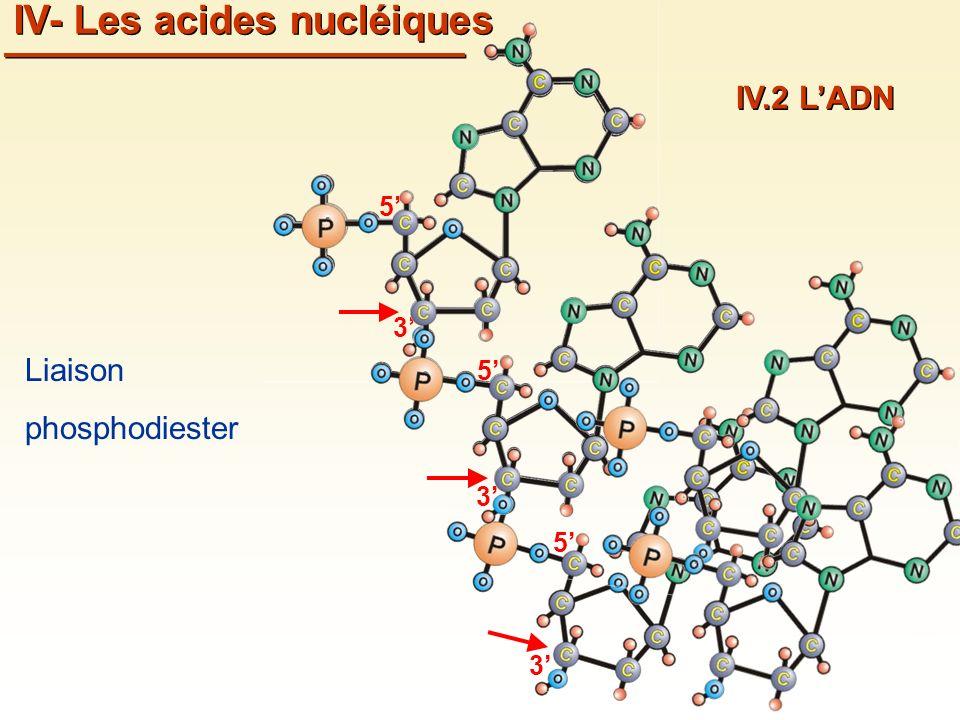 3 5 3 5 3 5 IV- Les acides nucléiques IV.2 LADN Liaison phosphodiester