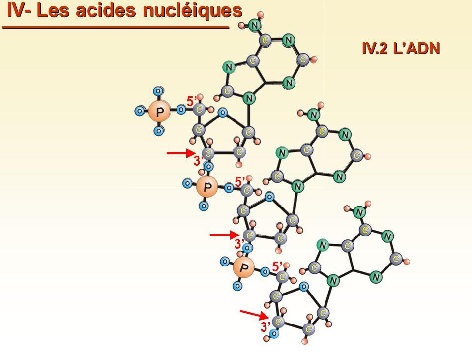 3 5 3 5 3 5 IV- Les acides nucléiques IV.2 LADN