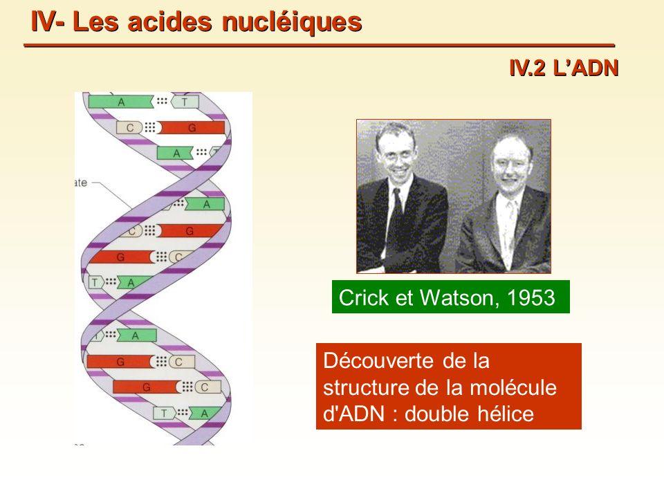 Crick et Watson, 1953 Découverte de la structure de la molécule d ADN : double hélice IV- Les acides nucléiques IV.2 LADN