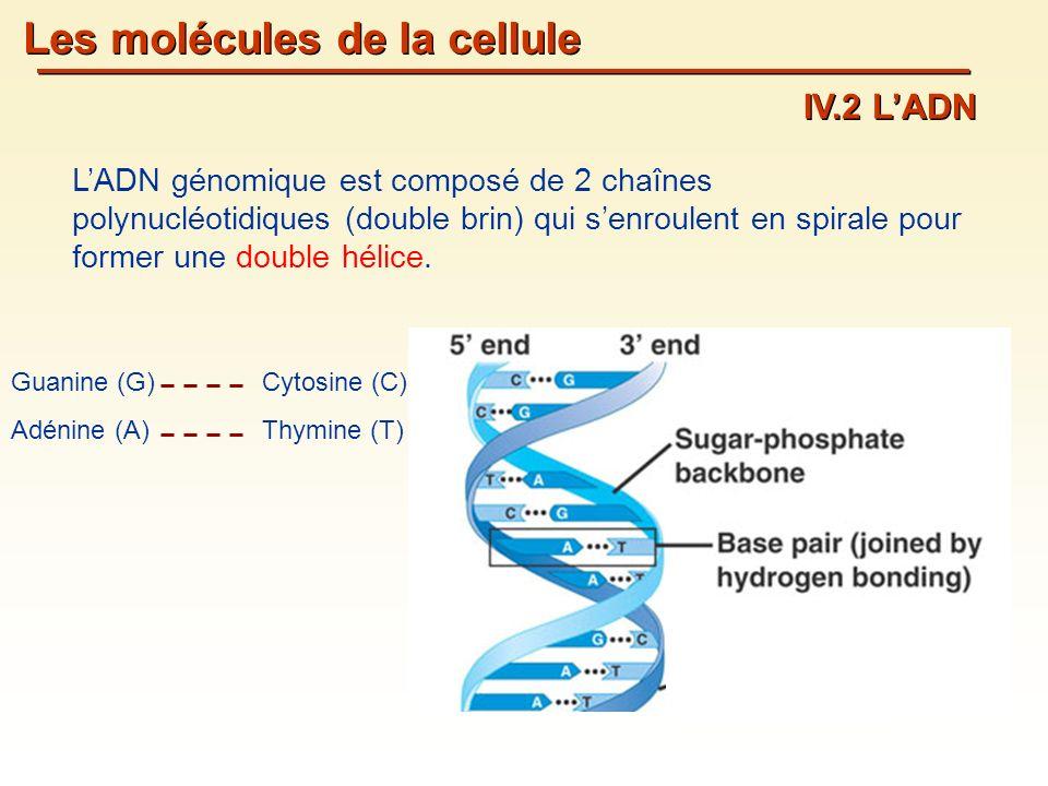 Les molécules de la cellule IV.2 LADN LADN génomique est composé de 2 chaînes polynucléotidiques (double brin) qui senroulent en spirale pour former une double hélice.