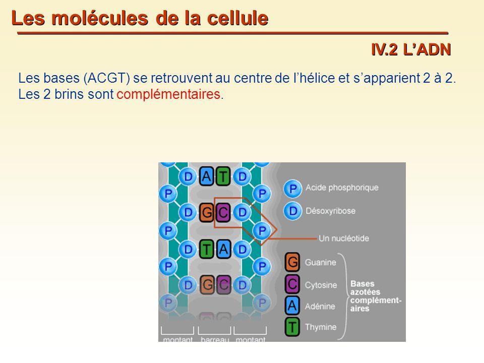 Les molécules de la cellule IV.2 LADN Les bases (ACGT) se retrouvent au centre de lhélice et sapparient 2 à 2.