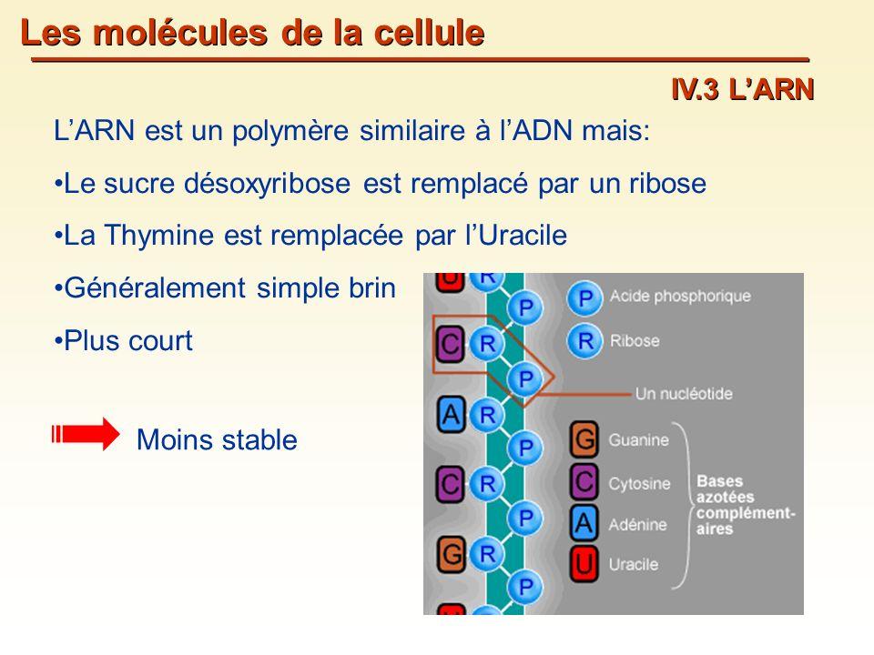 Les molécules de la cellule IV.3 LARN LARN est un polymère similaire à lADN mais: Le sucre désoxyribose est remplacé par un ribose La Thymine est remplacée par lUracile Généralement simple brin Plus court Moins stable