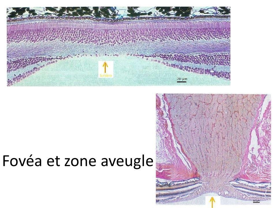 Fovéa et zone aveugle