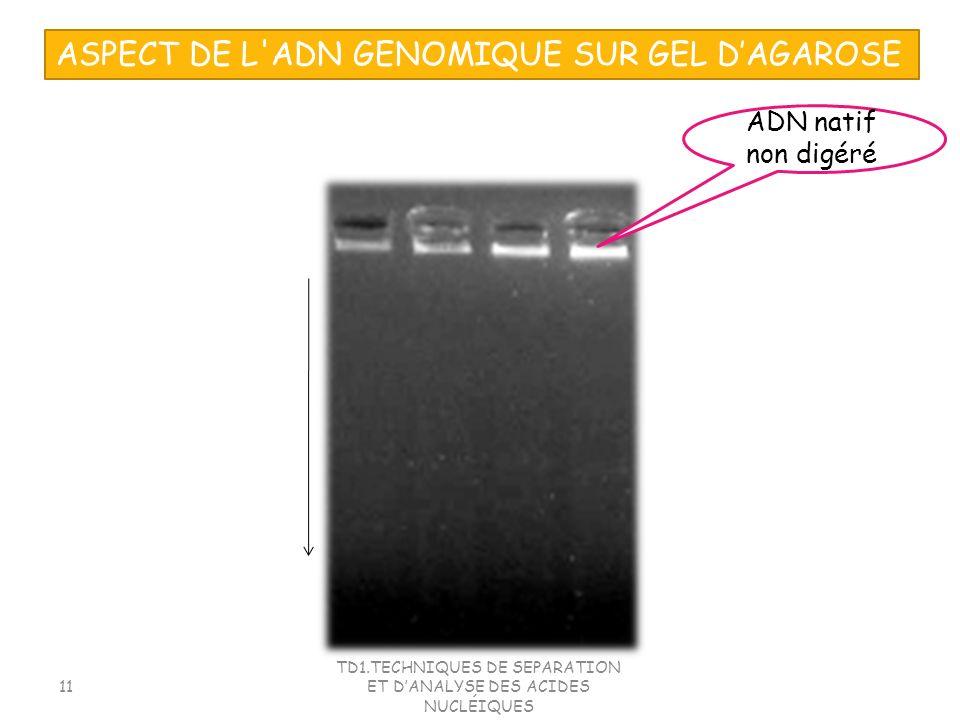 TD1.TECHNIQUES DE SEPARATION ET DANALYSE DES ACIDES NUCLÉIQUES 11 ASPECT DE L'ADN GENOMIQUE SUR GEL DAGAROSE ADN natif non digéré