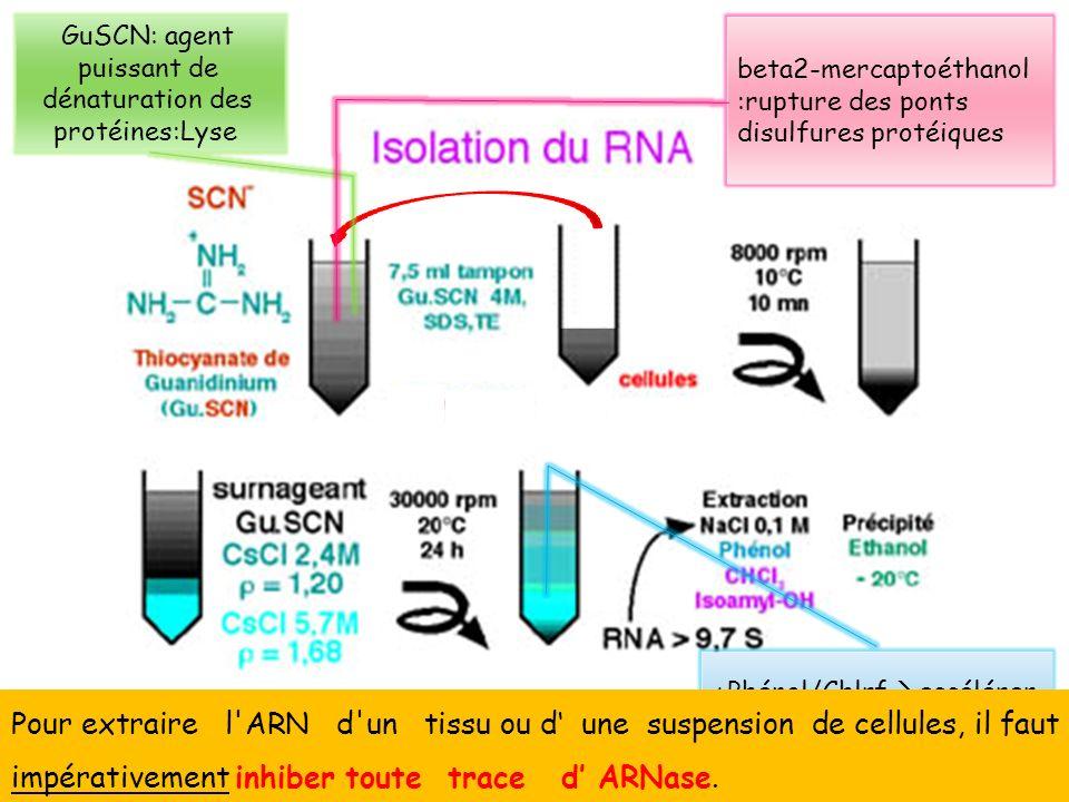 +Phénol/Chlrf accélérer la procédure dextraction (++ieurs séries/- cellules) TD1.TECHNIQUES DE SEPARATION ET DANALYSE DES ACIDES NUCLÉIQUES 13 Pour ex