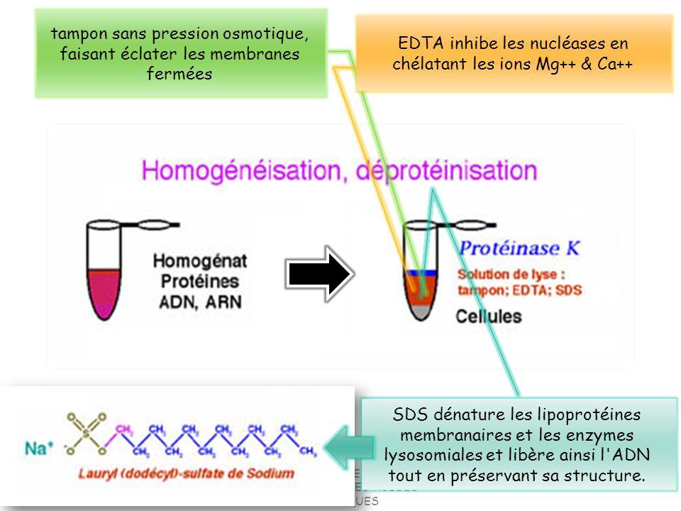 18 Petites molécules dADN habituellement circulaire Existant indépendamment des chromosomes de lhôte Présents chez nombreuses bactéries (qques levures et mycètes) A réplication autonome (=réplicons) indépendamment des chromosomes Portent un nombre de gènes très réduit (30) A information génétique non-essentielle pour lhôte En nbr.