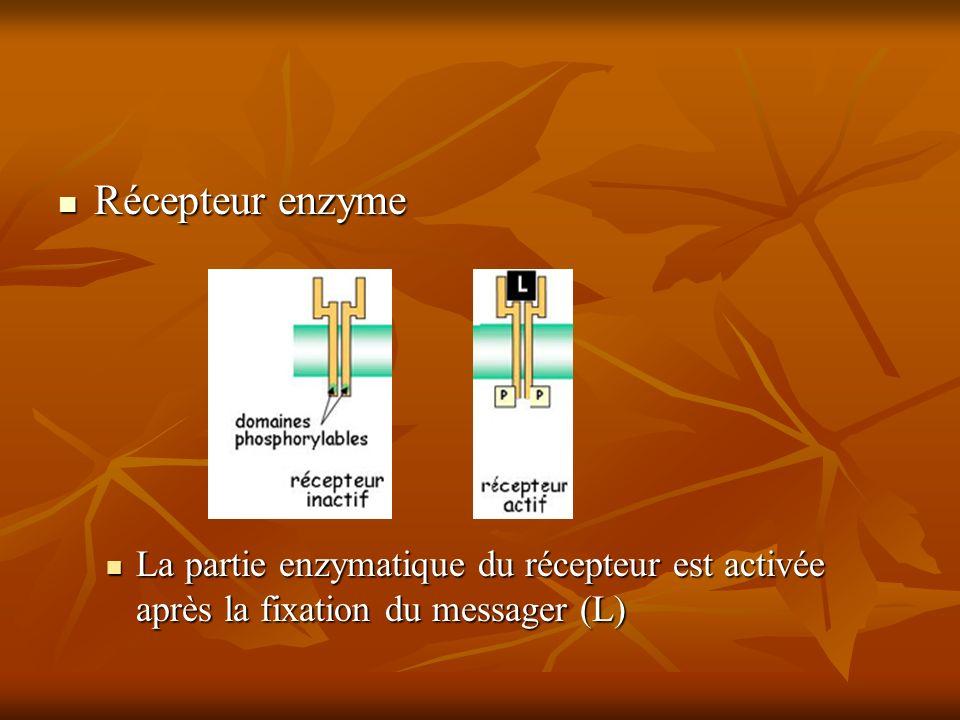 Récepteur enzyme Récepteur enzyme La partie enzymatique du récepteur est activée après la fixation du messager (L) La partie enzymatique du récepteur est activée après la fixation du messager (L)