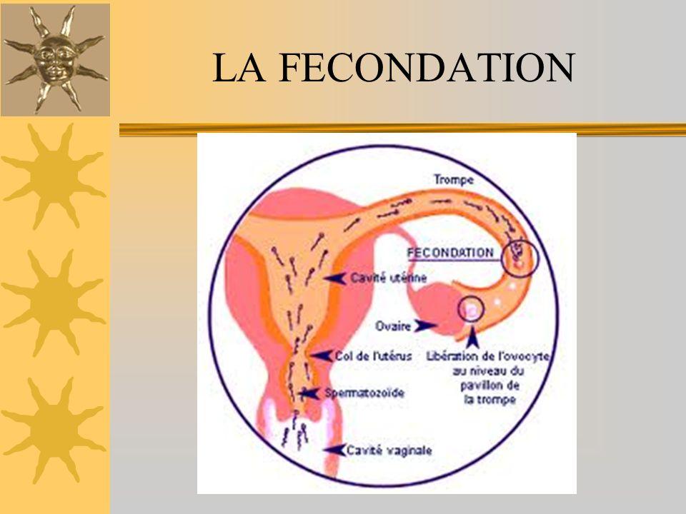 Dès la fécondation, lœuf commence à se diviser activement dans la trompe pour donner le blastocyste, qui migre vers lutérus.