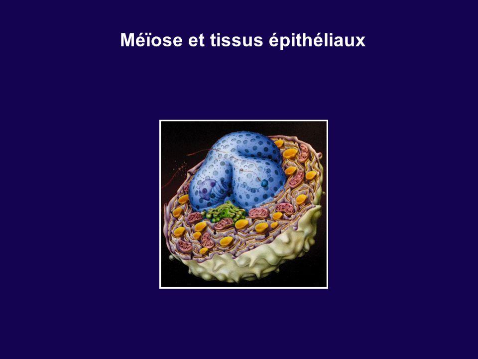Méïose et tissus épithéliaux