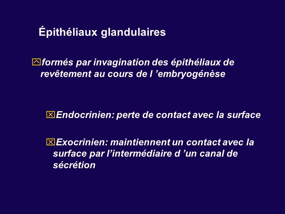 Épithéliaux glandulaires formés par invagination des épithéliaux de revêtement au cours de l embryogénèse Endocrinien: perte de contact avec la surfac