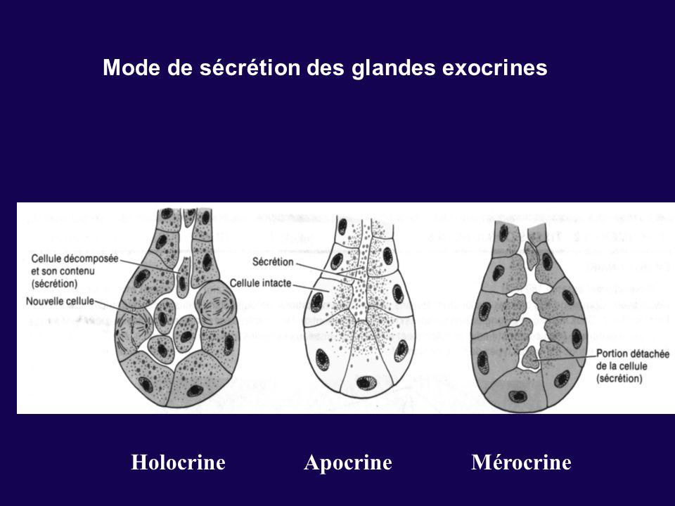 Mode de sécrétion des glandes exocrines Holocrine Apocrine Mérocrine
