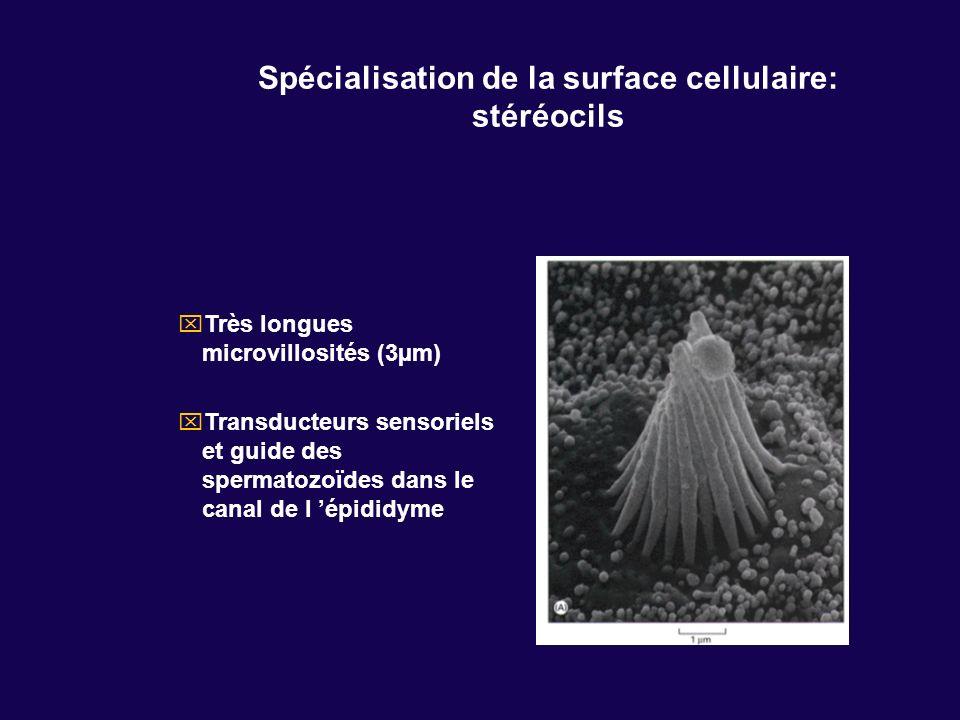 Spécialisation de la surface cellulaire: stéréocils Très longues microvillosités (3µm) Transducteurs sensoriels et guide des spermatozoïdes dans le ca