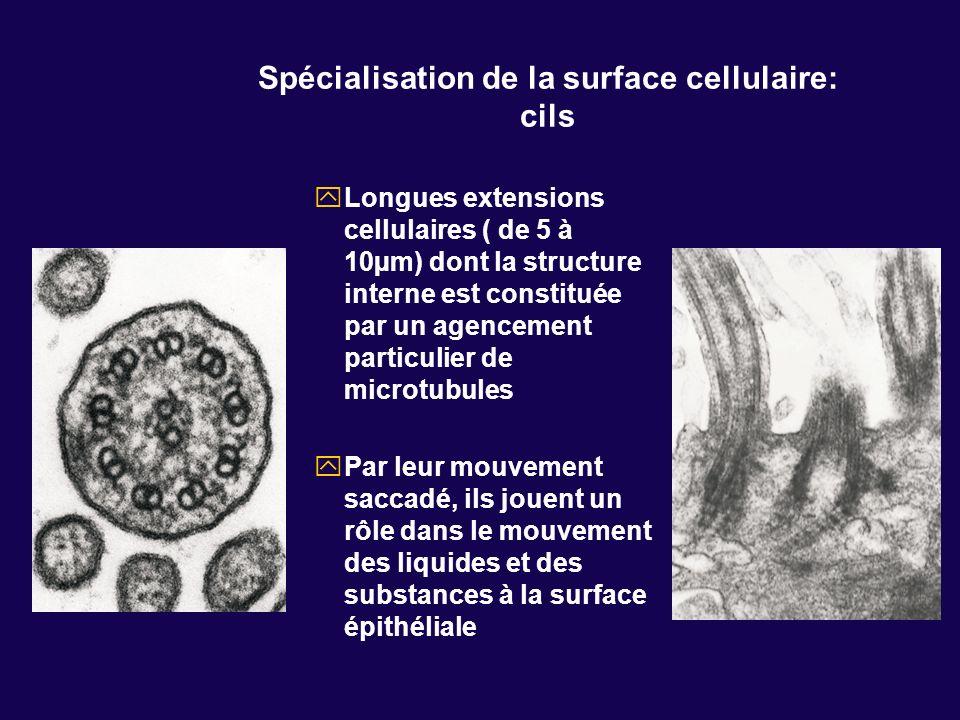 Spécialisation de la surface cellulaire: cils Longues extensions cellulaires ( de 5 à 10µm) dont la structure interne est constituée par un agencement