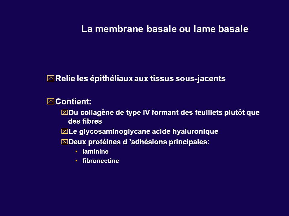 La membrane basale ou lame basale Relie les épithéliaux aux tissus sous-jacents Contient: Du collagène de type IV formant des feuillets plutôt que des