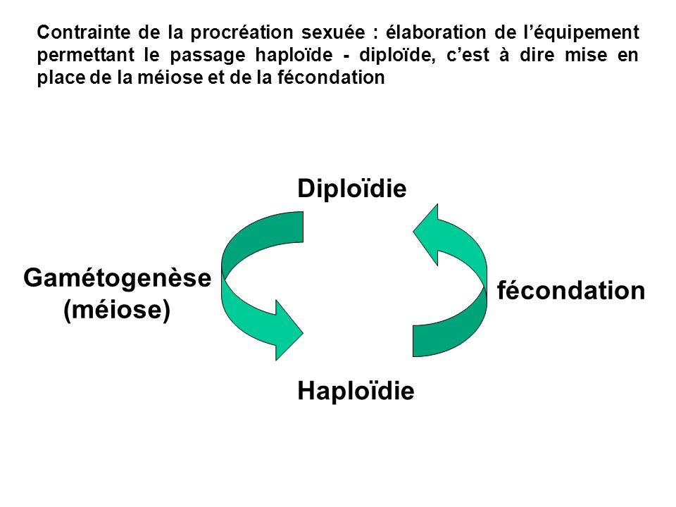 Diploïdie Haploïdie fécondation Gamétogenèse (méiose) Contrainte de la procréation sexuée : élaboration de léquipement permettant le passage haploïde