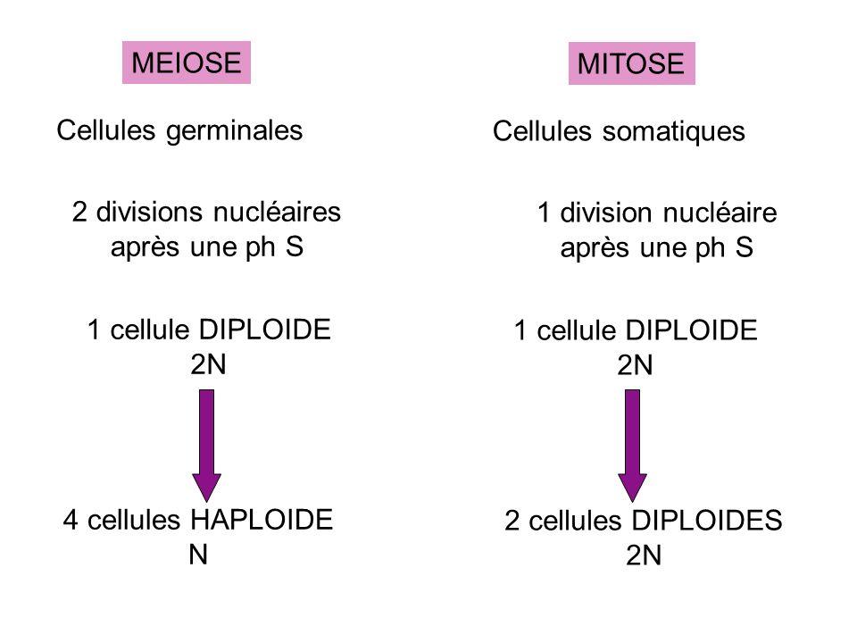MITOSE Cellules somatiques 1 division nucléaire après une ph S 1 cellule DIPLOIDE 2N 2 cellules DIPLOIDES 2N MEIOSE Cellules germinales 2 divisions nu