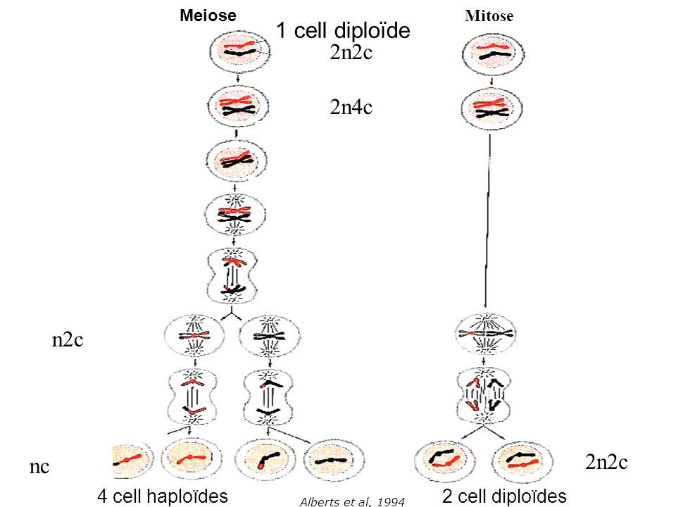 Alberts et al, 1994 Meiose Mitose 2n2c 2n4c n2c 2n2c nc 1 cell diploïde 2 cell diploïdes4 cell haploïdes