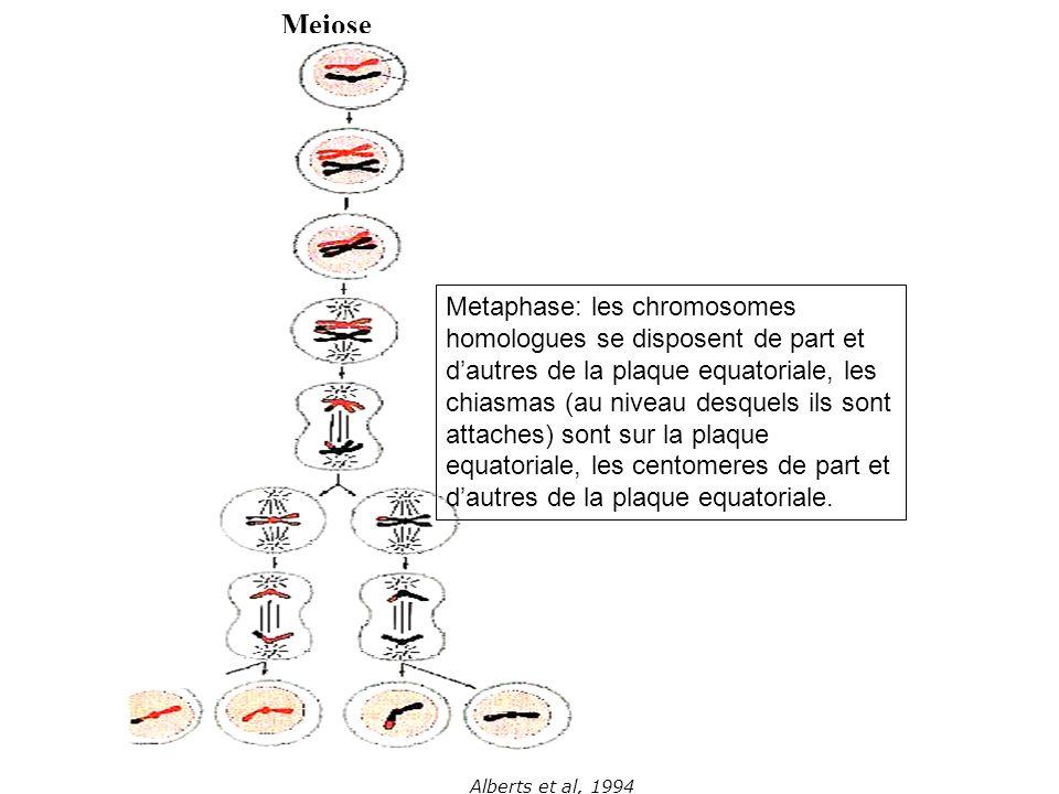 Alberts et al, 1994 Meiose Metaphase: les chromosomes homologues se disposent de part et dautres de la plaque equatoriale, les chiasmas (au niveau des