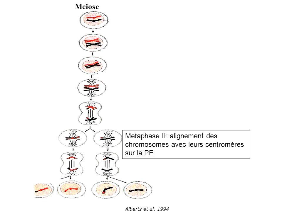 Alberts et al, 1994 Meiose Metaphase II: alignement des chromosomes avec leurs centromères sur la PE