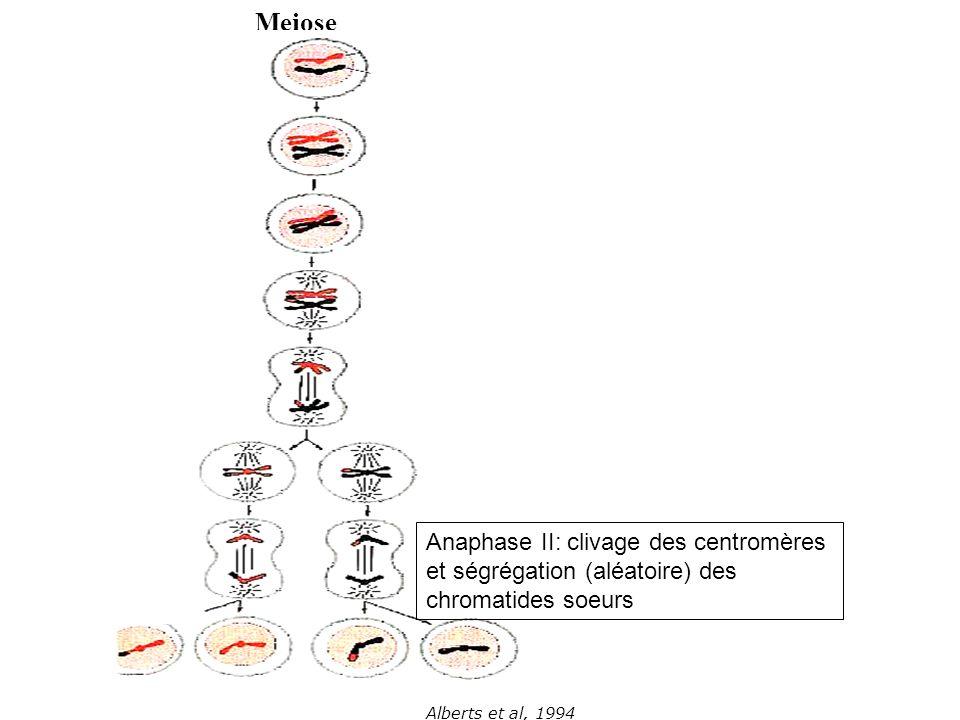 Alberts et al, 1994 Meiose Anaphase II: clivage des centromères et ségrégation (aléatoire) des chromatides soeurs
