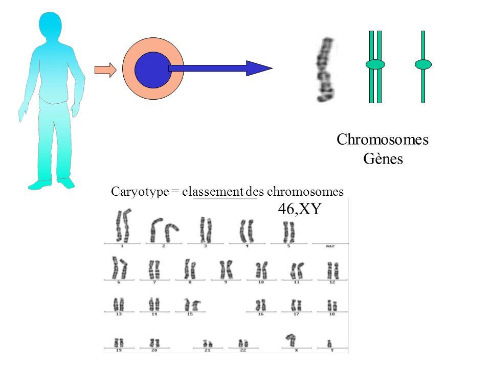 Chromosomes Gènes Caryotype = classement des chromosomes 46,XY