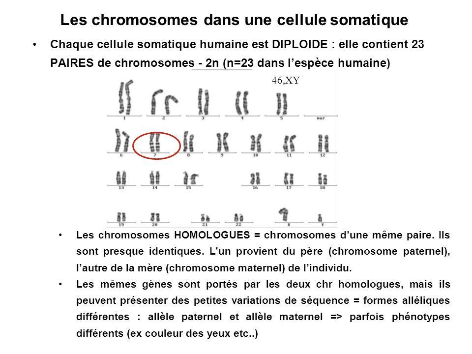 Les chromosomes dans une cellule somatique Chaque cellule somatique humaine est DIPLOIDE : elle contient 23 PAIRES de chromosomes - 2n (n=23 dans lesp
