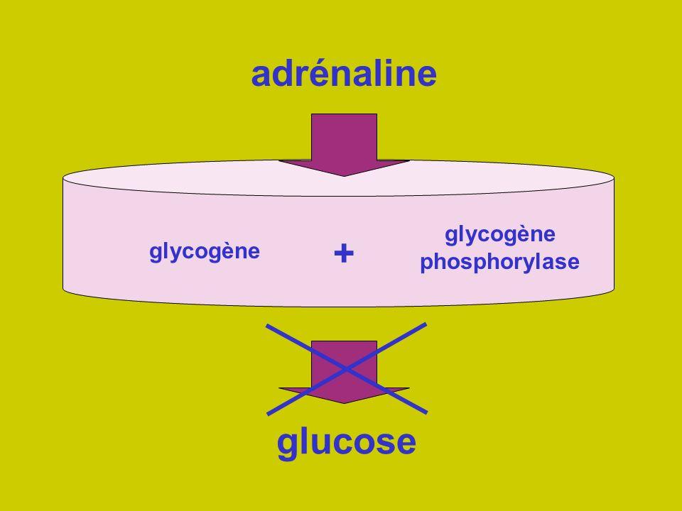 adrénaline glucose glycogène glycogène phosphorylase +
