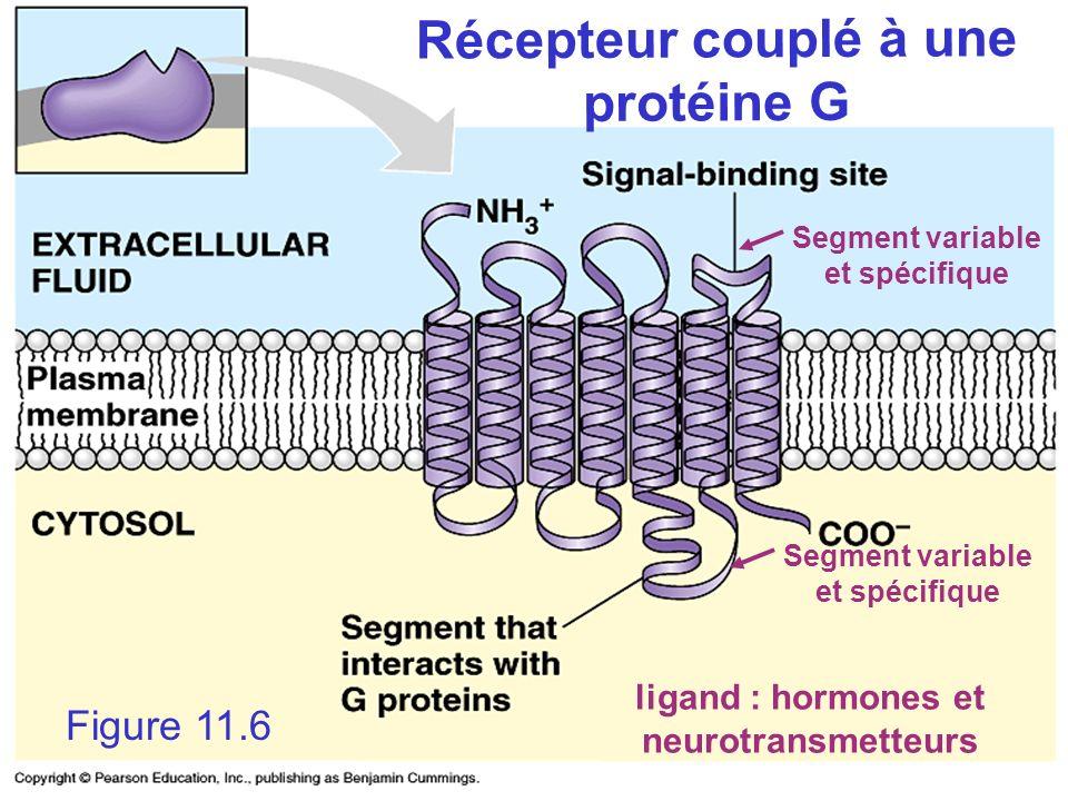 ligand : hormones et neurotransmetteurs Figure 11.6 Récepteur couplé à une protéine G Segment variable et spécifique