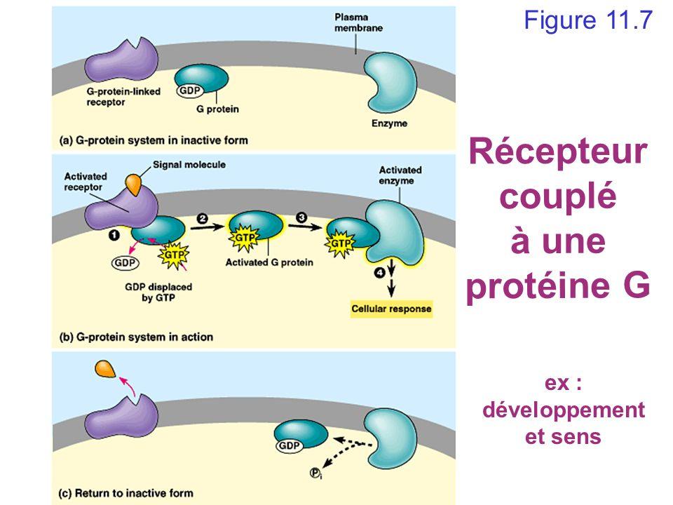 Figure 11.7 Récepteur couplé à une protéine G ex : développement et sens