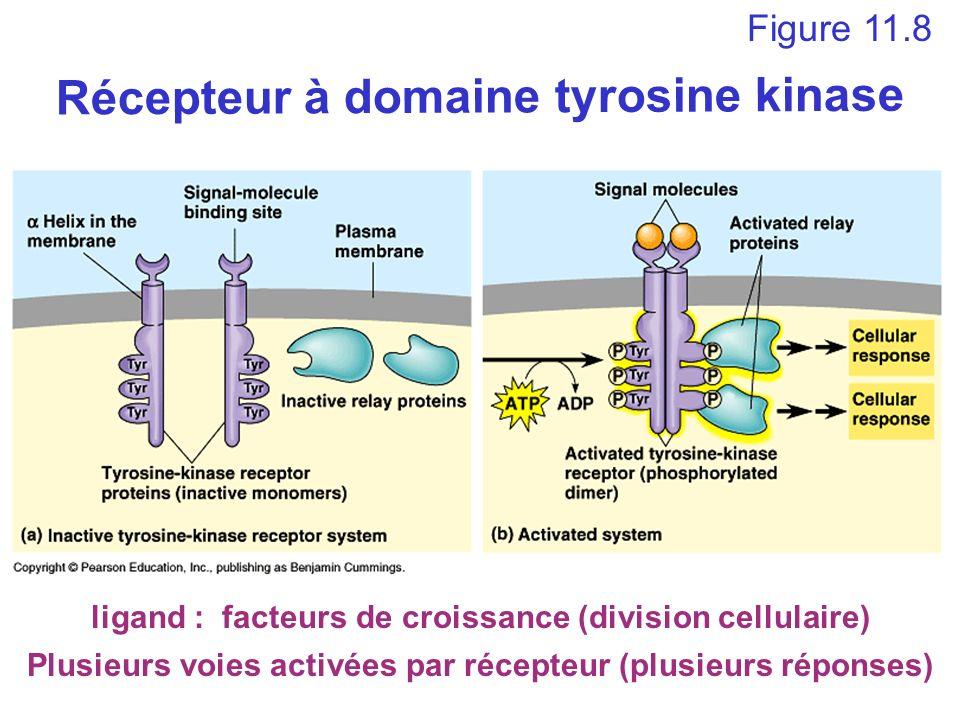 ligand : facteurs de croissance (division cellulaire) Figure 11.8 Récepteur à domaine tyrosine kinase Plusieurs voies activées par récepteur (plusieur