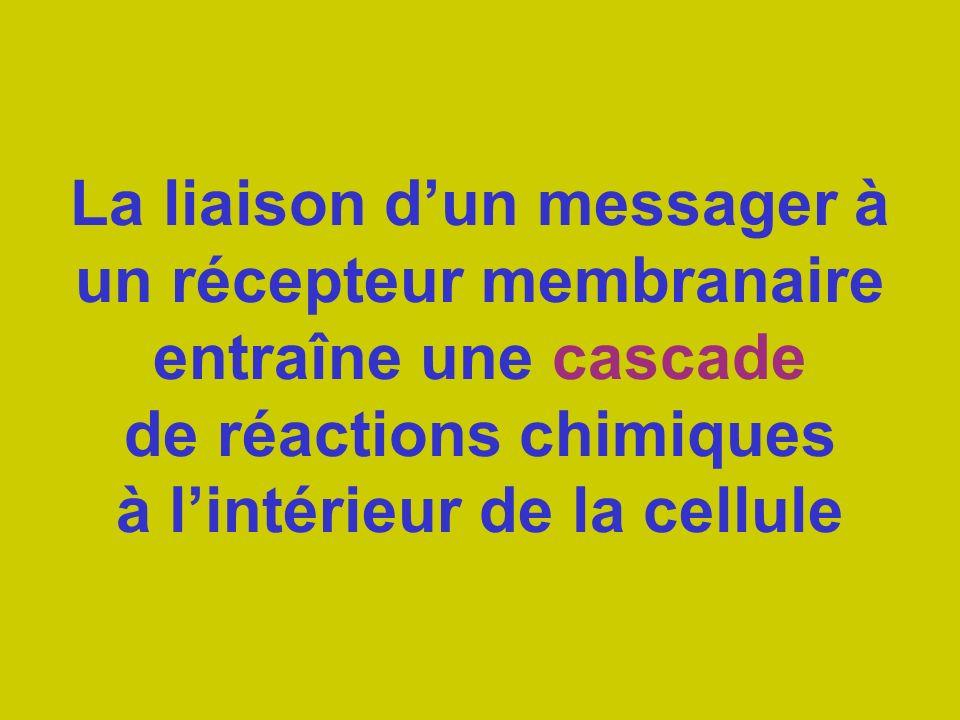 La liaison dun messager à un récepteur membranaire entraîne une cascade de réactions chimiques à lintérieur de la cellule