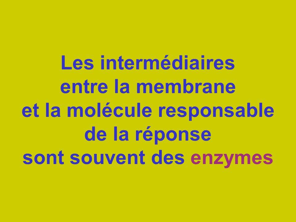 Les intermédiaires entre la membrane et la molécule responsable de la réponse sont souvent des enzymes