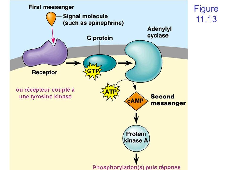 Phosphorylation(s) puis réponse Figure 11.13 ou récepteur couplé à une tyrosine kinase