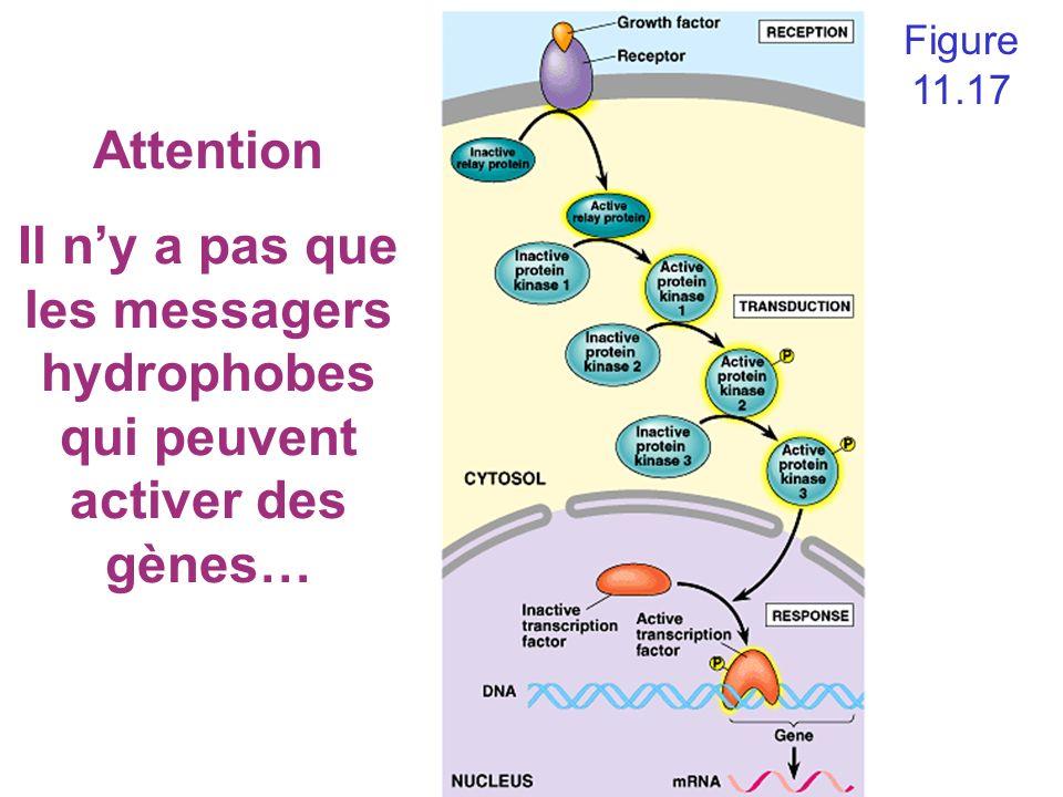 Figure 11.17 Attention Il ny a pas que les messagers hydrophobes qui peuvent activer des gènes…