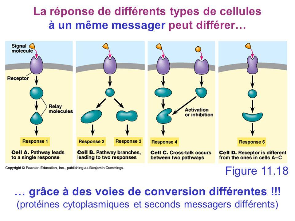Figure 11.18 The specificity of cell signaling La réponse de différents types de cellules à un même messager peut différer… … grâce à des voies de con