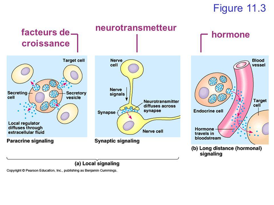 facteurs de croissance neurotransmetteur hormone Figure 11.3