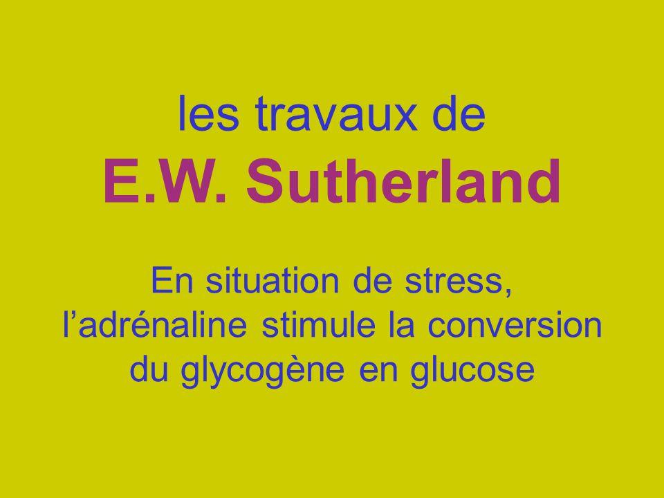 les travaux de E.W. Sutherland En situation de stress, ladrénaline stimule la conversion du glycogène en glucose