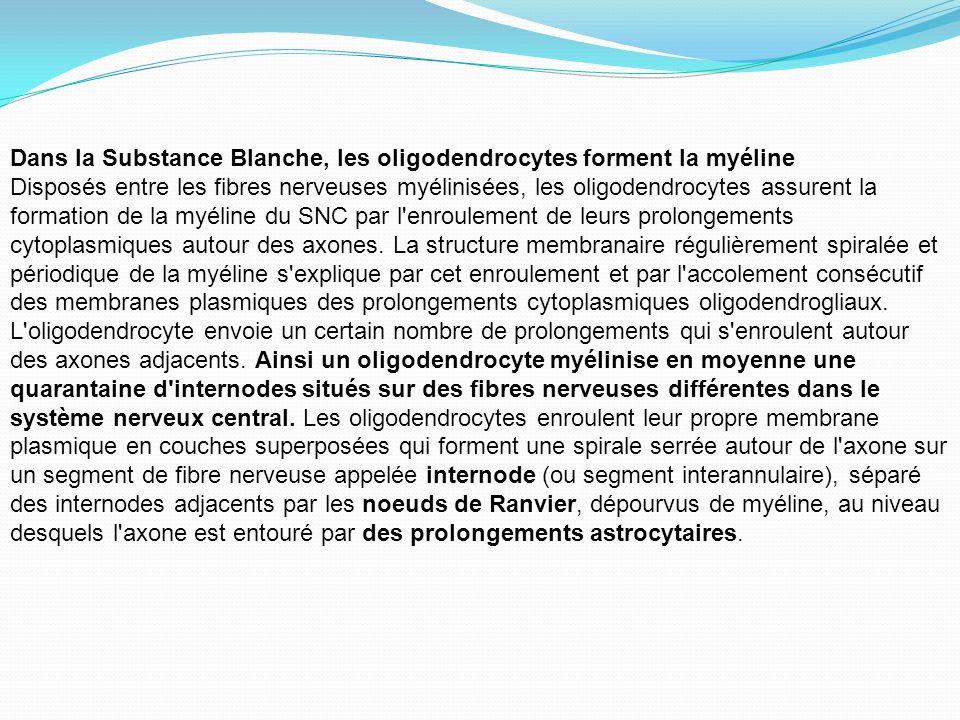 Dans la Substance Blanche, les oligodendrocytes forment la myéline Disposés entre les fibres nerveuses myélinisées, les oligodendrocytes assurent la f