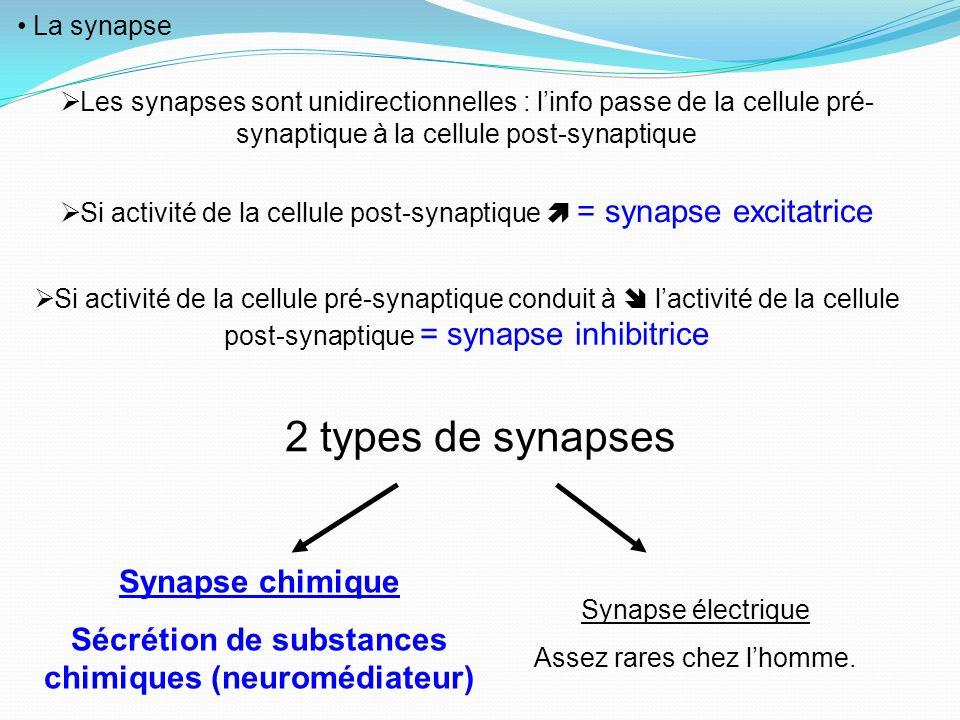 La synapse Les synapses sont unidirectionnelles : linfo passe de la cellule pré- synaptique à la cellule post-synaptique Si activité de la cellule pos